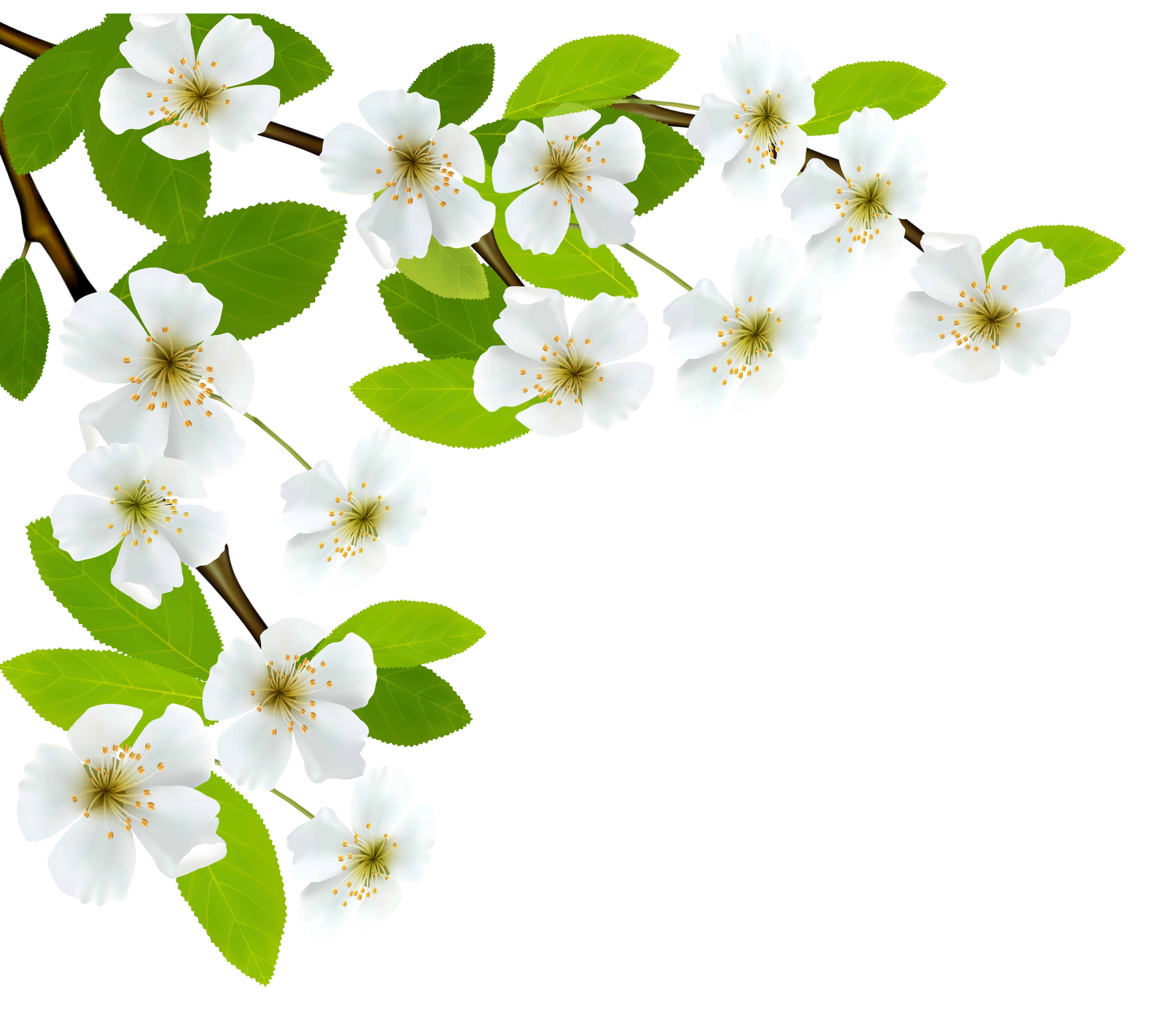 White flower branch png. Spring clipart image gallery
