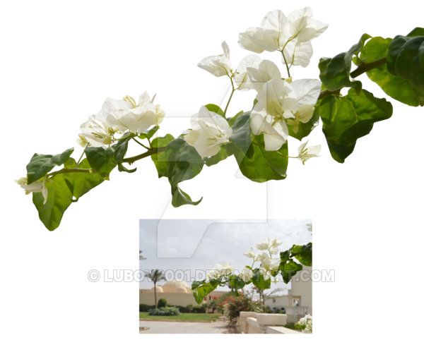 White flower branch png. With flowers by lubov