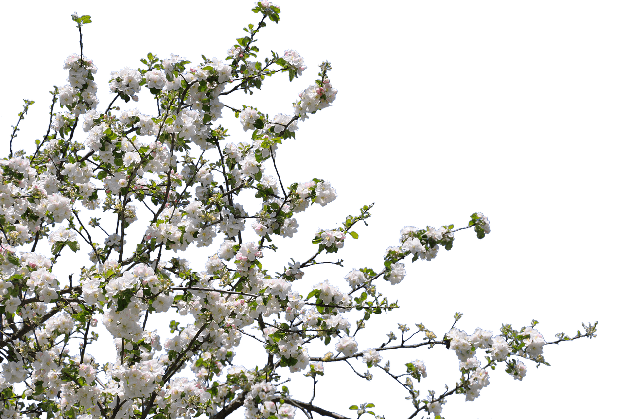 White flower branch png. Tree spring flowers photos
