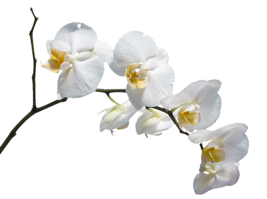 White flower branch png. Moth orchids please god
