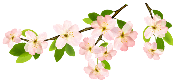 White flower branch png. Image spring clipart picture