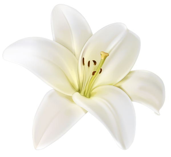 White lily flower png. Beautiful clipart image beauty