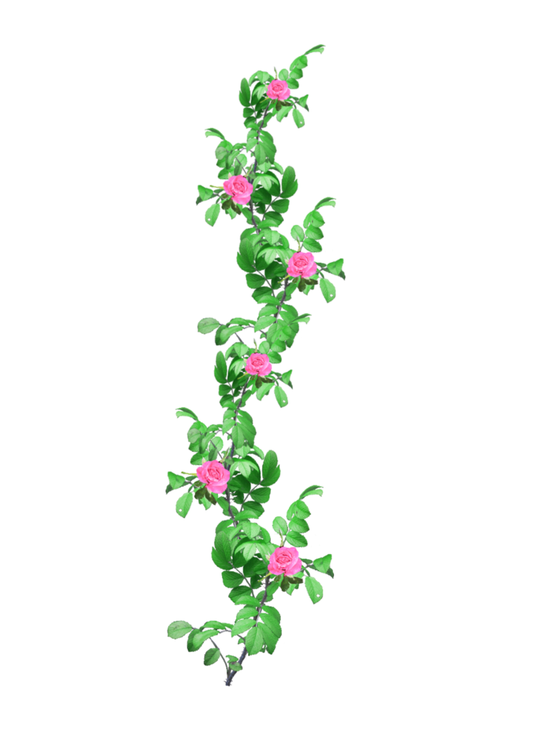 White flower garland png. Rose stock by amalus