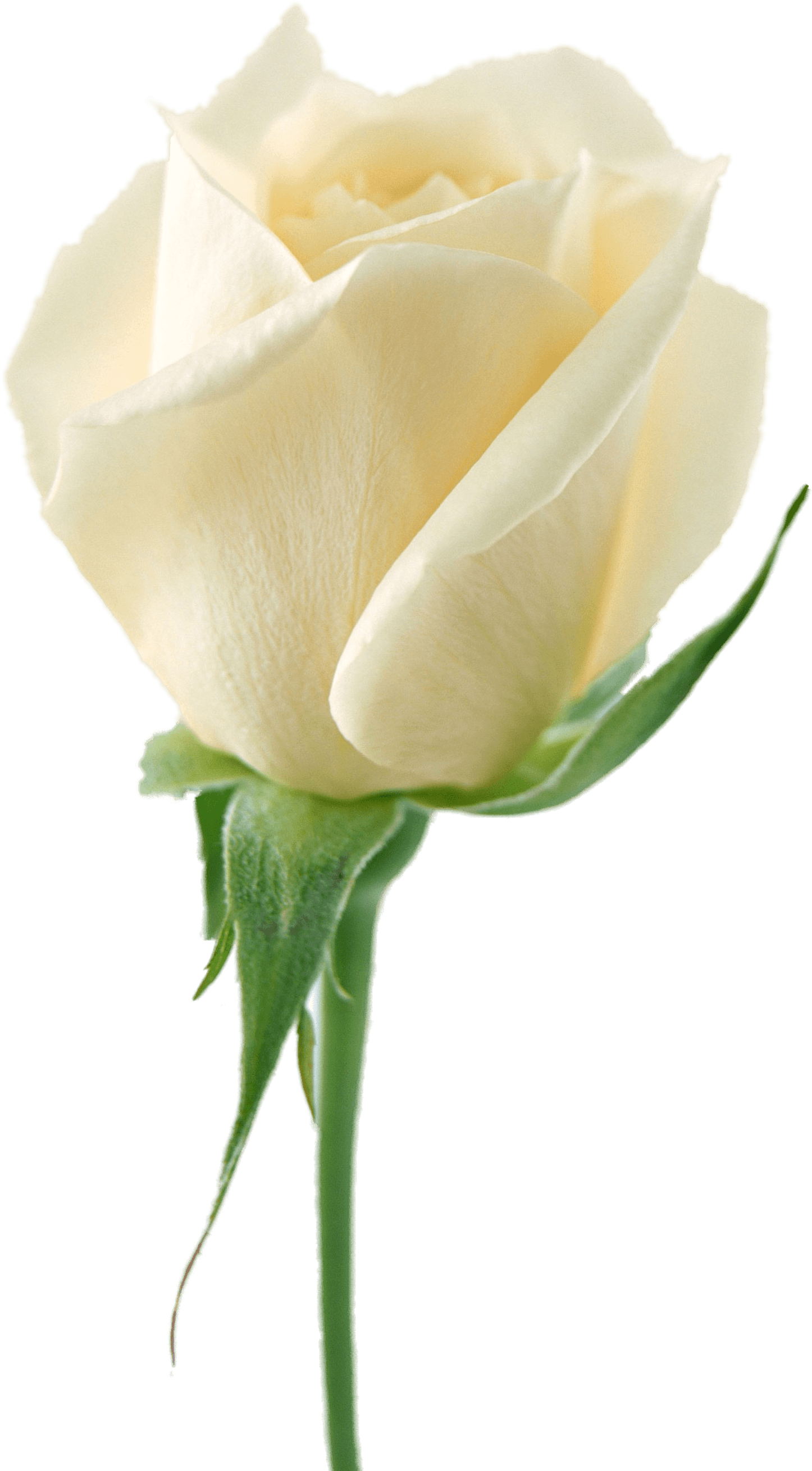 White flower garland png. Download rose image picture