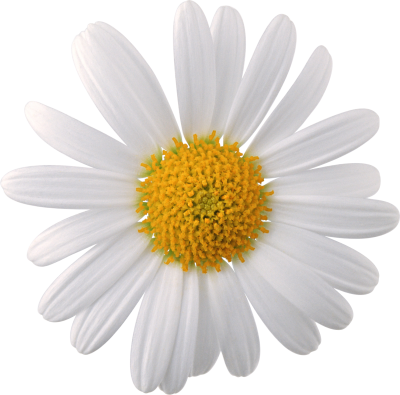 White flower png. Download free transparent image