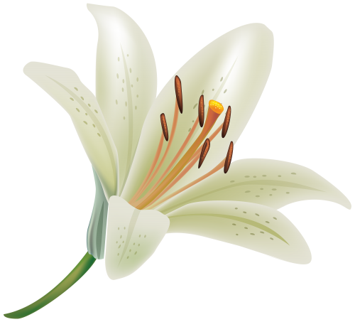 White flower .png. Lily png clipart clip