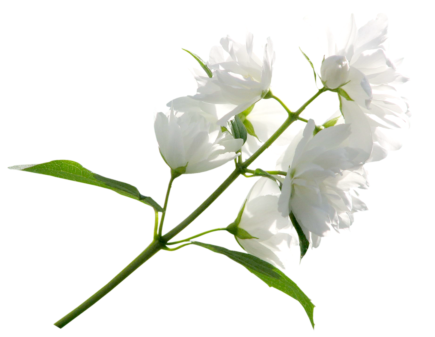 White flower png. Clipart image gallery yopriceville