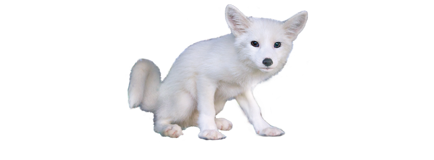 white fox png #79989187
