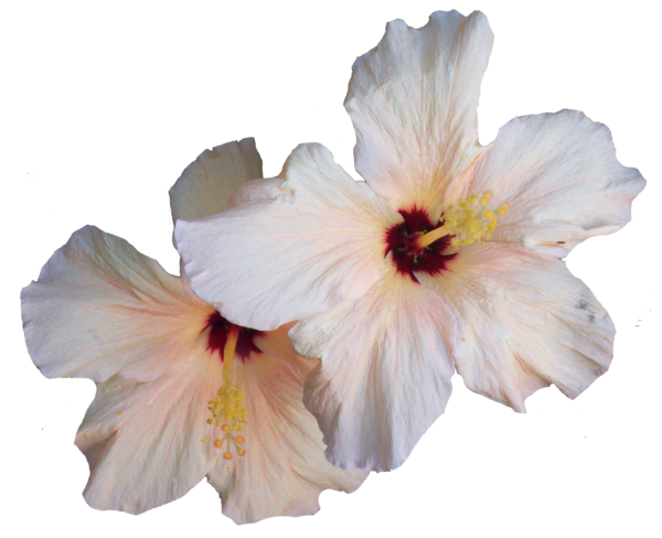 White hibiscus flower png. Transparent image mart