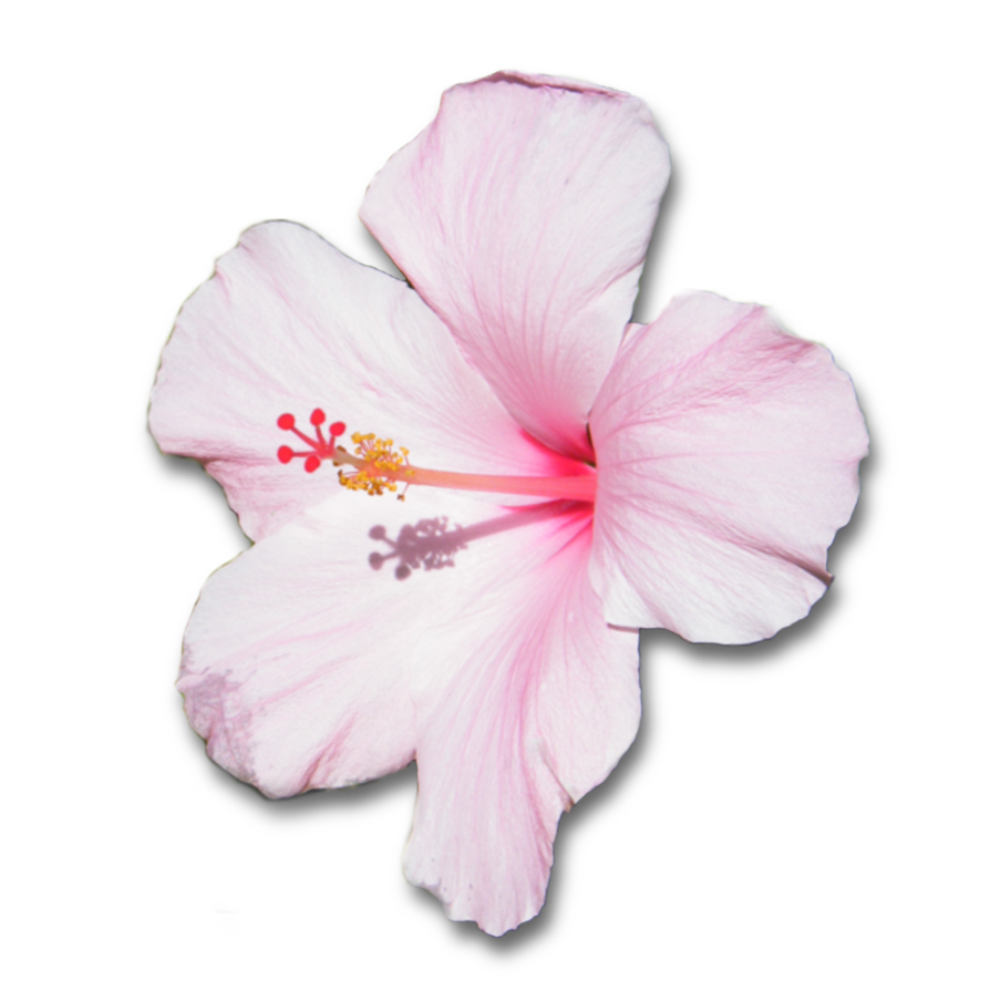 White hibiscus flower png. Pink with shadow by