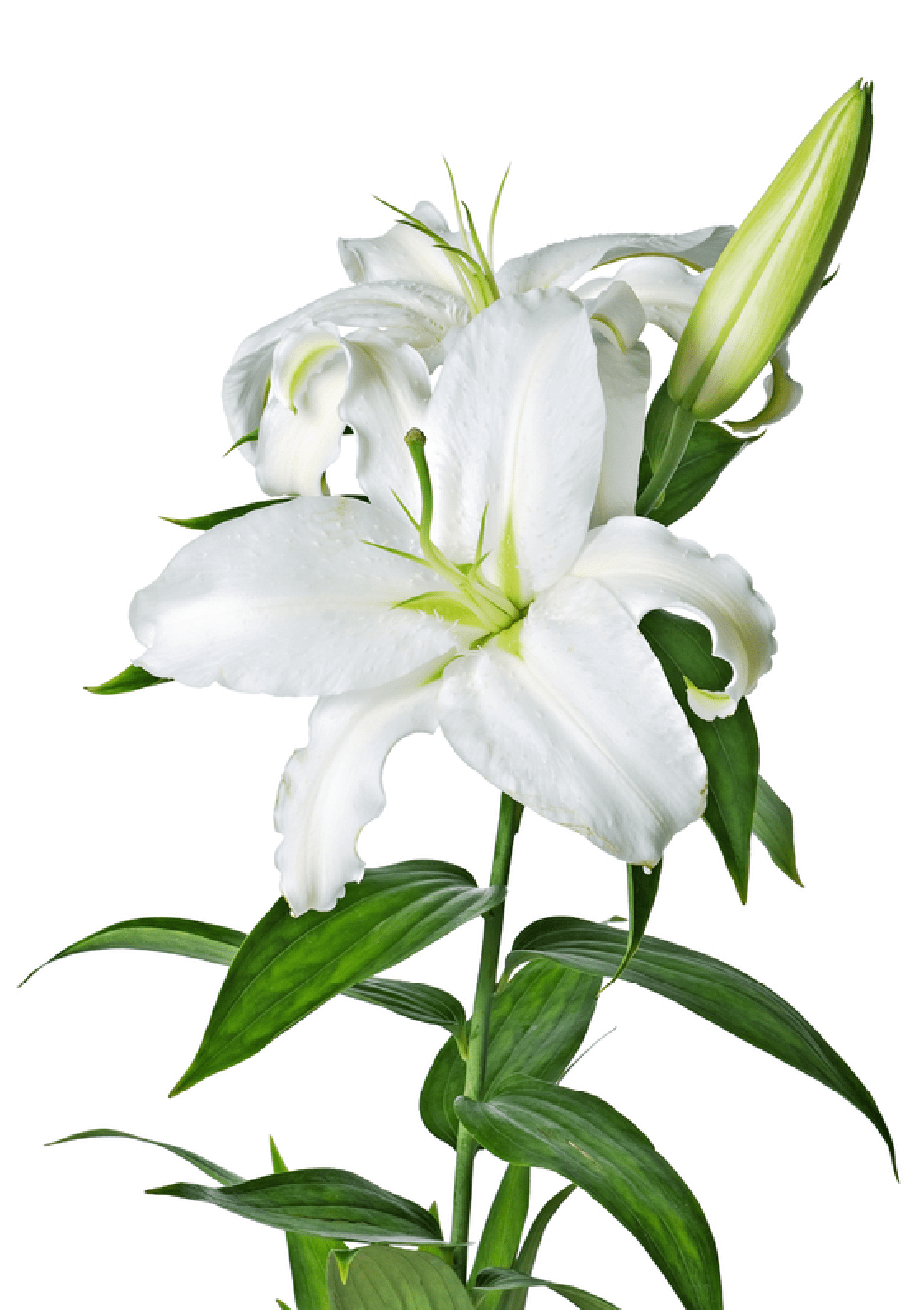 White lily flower png. Transparent stickpng