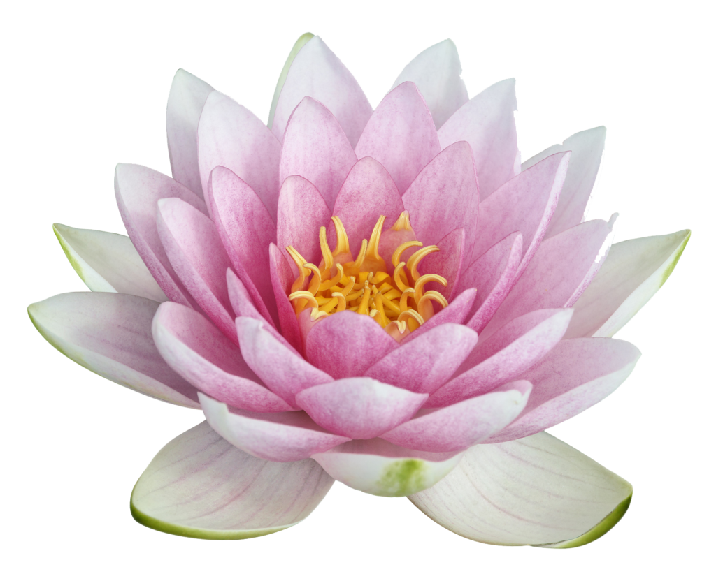 White Lotus Flower Png Picture 633063 White Lotus Flower Png