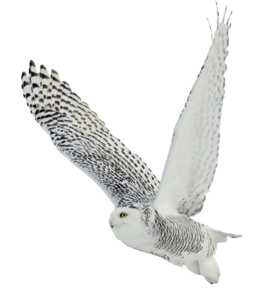 White owl png. Image dlpng download with