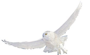 White owl png. Forgetmenot owls