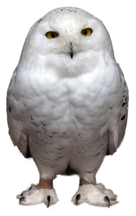 White owl png. Transparent picture gallery yopriceville