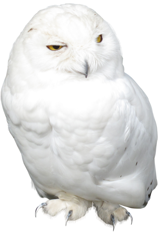 White owl png. Picture gallery yopriceville high