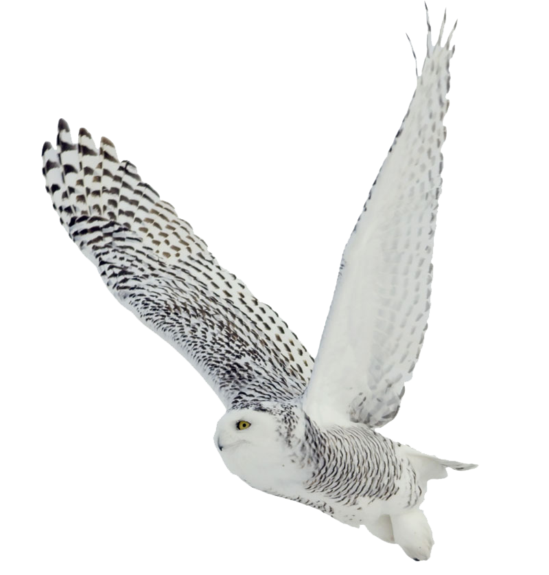 White owl png.