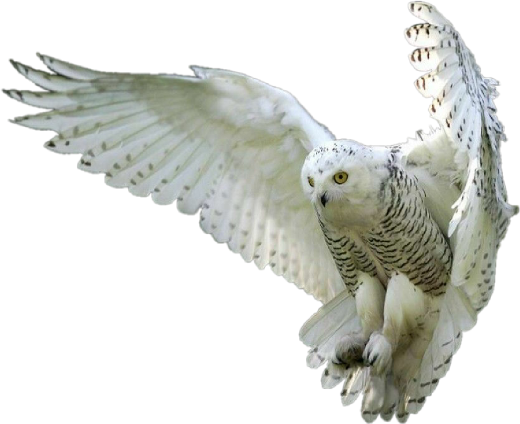 White owl png. Download owls whiteowl hedwig