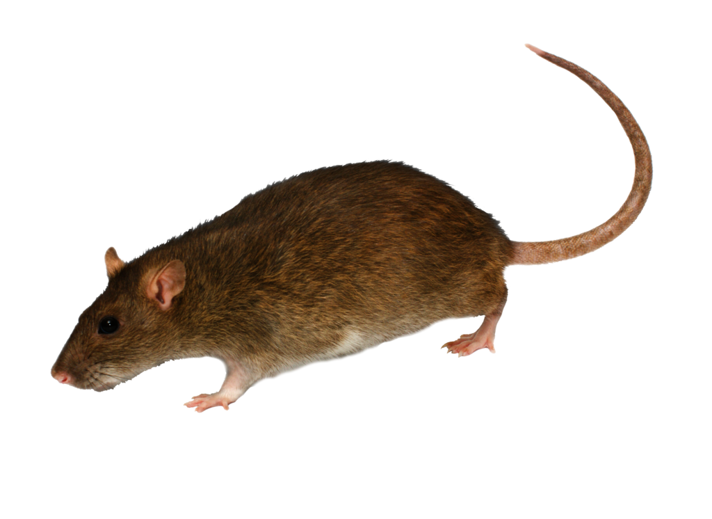White rat png. By moonglowlilly on deviantart