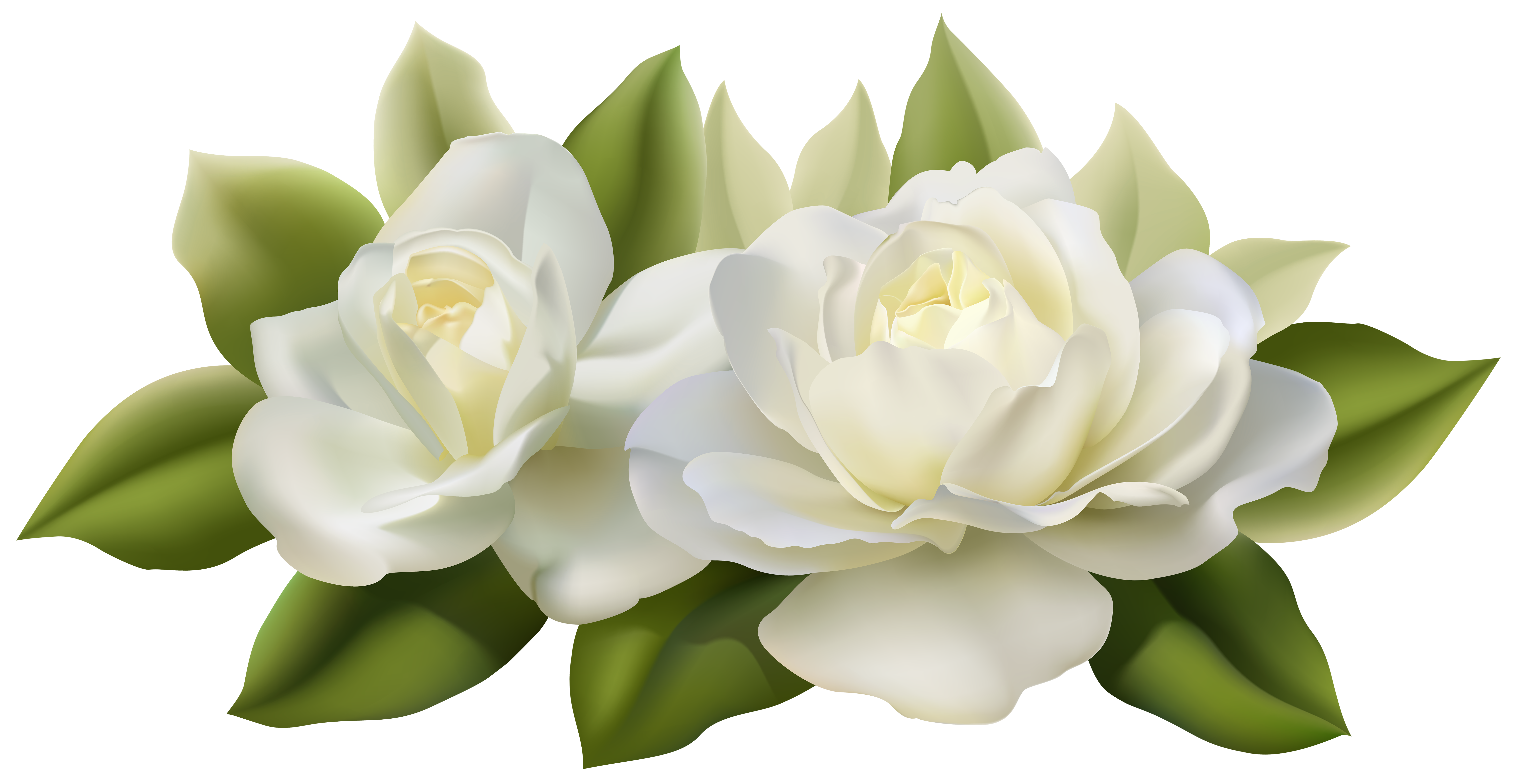 White roses png. Beautiful with leaves image