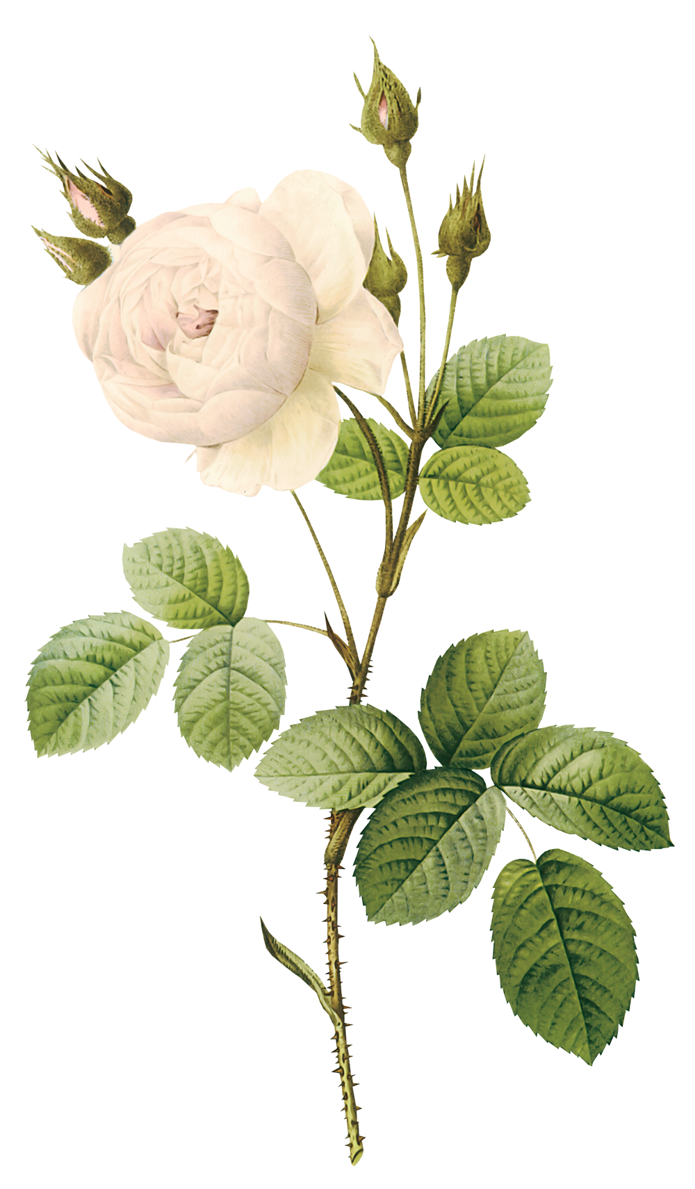 Flower & stem png. White rose image picture