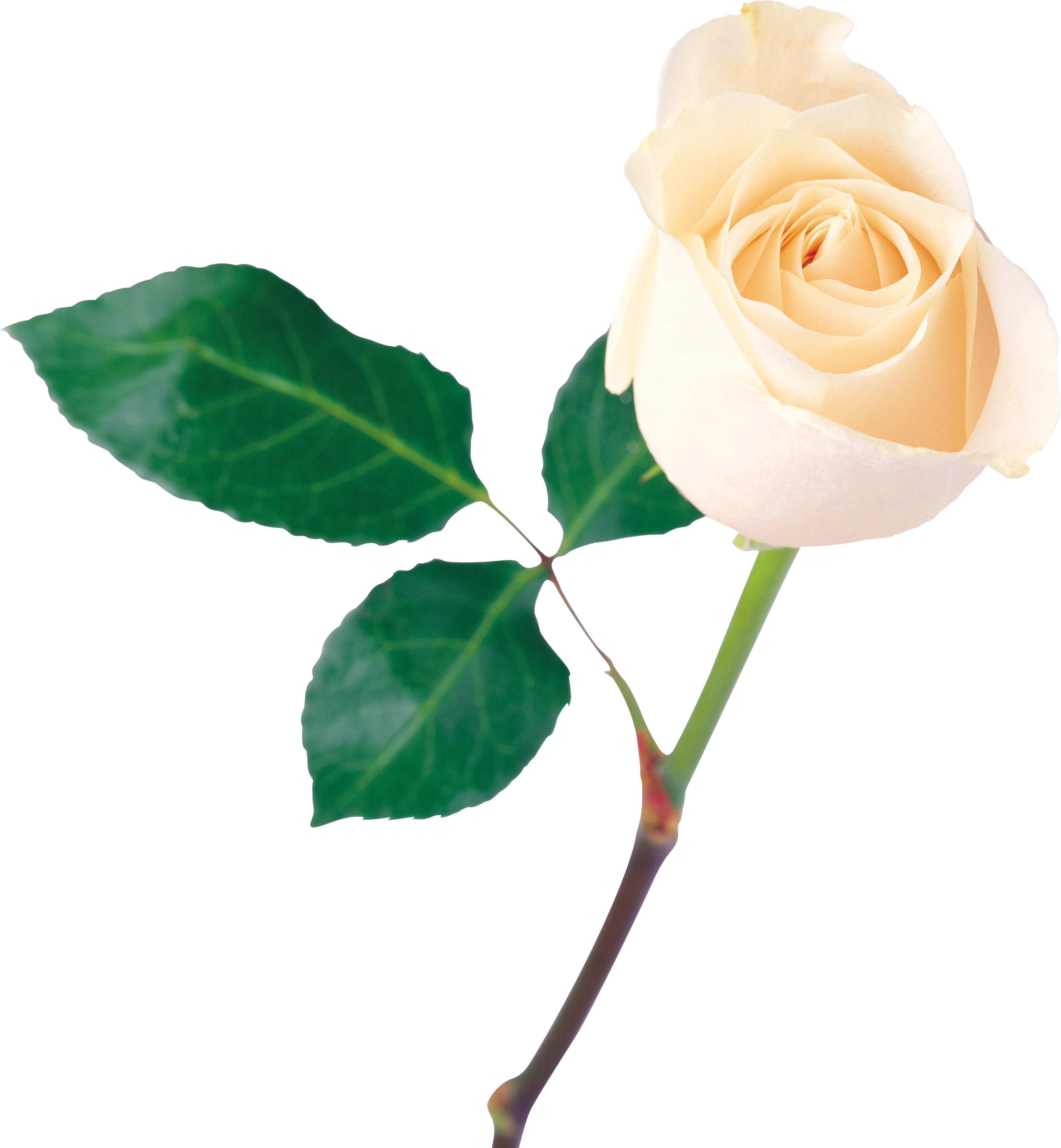 8cca9a16bd5e4 9 White Rose Png For Free Download On Ya Webdesign