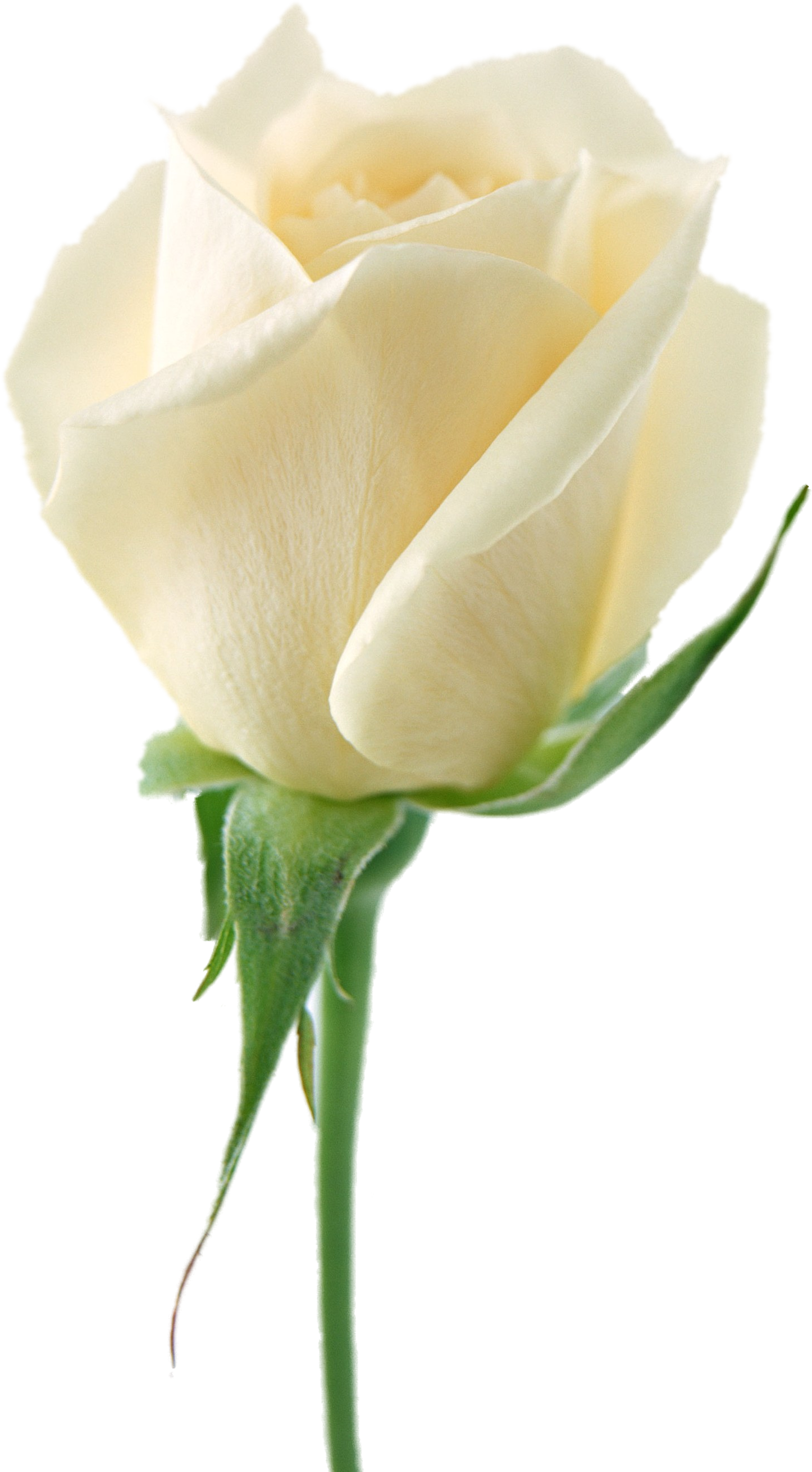 White rose png. Image flower picture