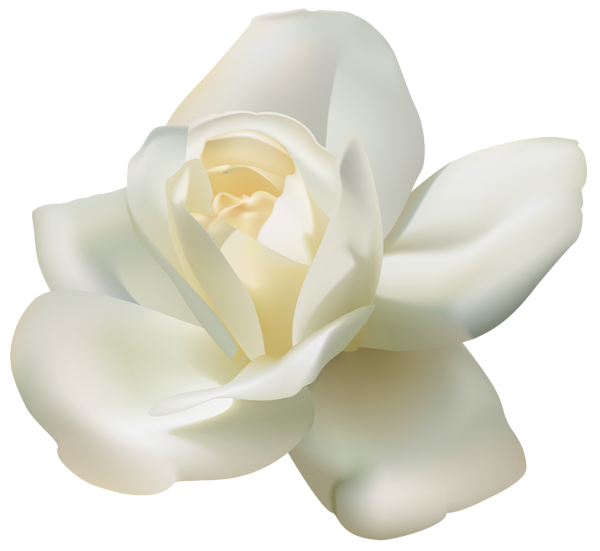 White roses png. Beautiful rose clipart image