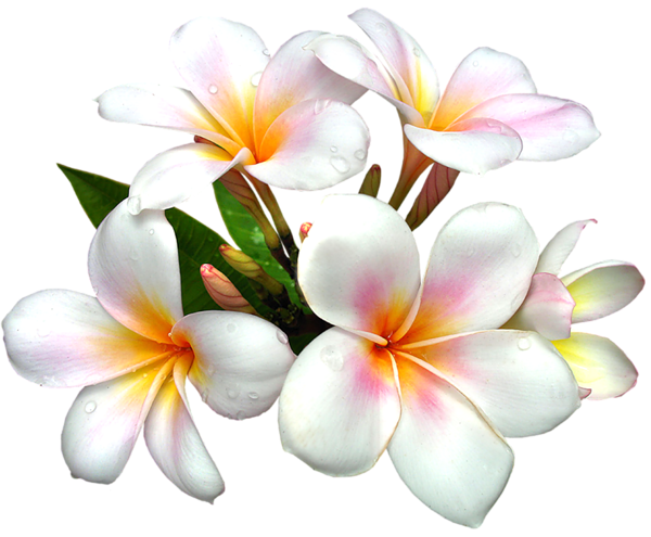 White flower png. Gallery free clipart picture