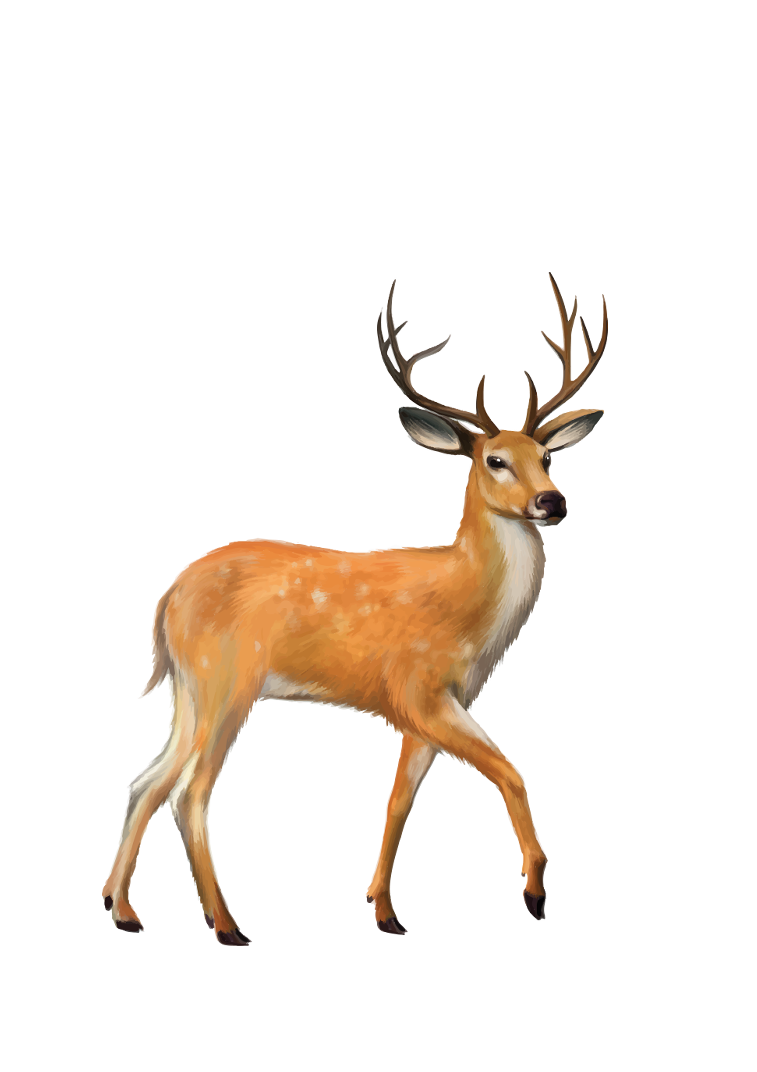 White tailed deer png. Mule clip art transprent