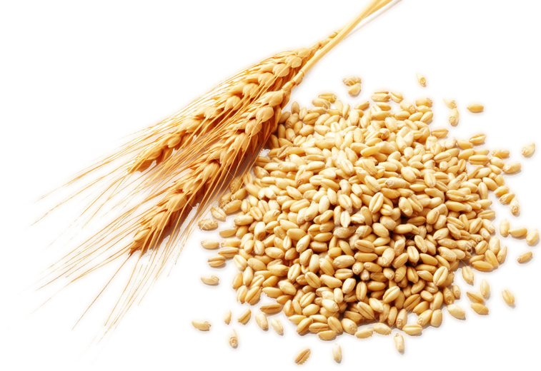 Whole grain png. Wheat