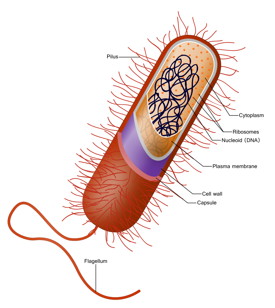 Bacterial capsule wikipedia this. Vector bacteria germ svg transparent library