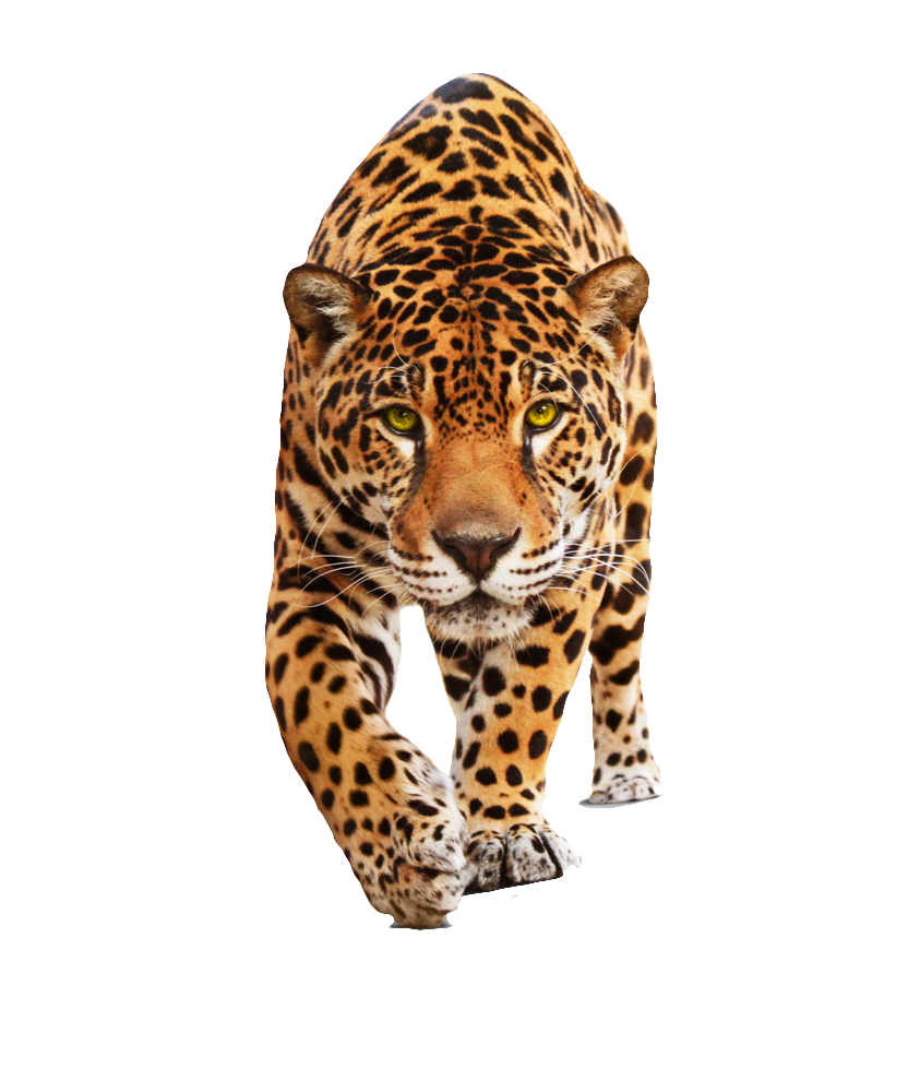 Wild cats png. Transparent background recherche google