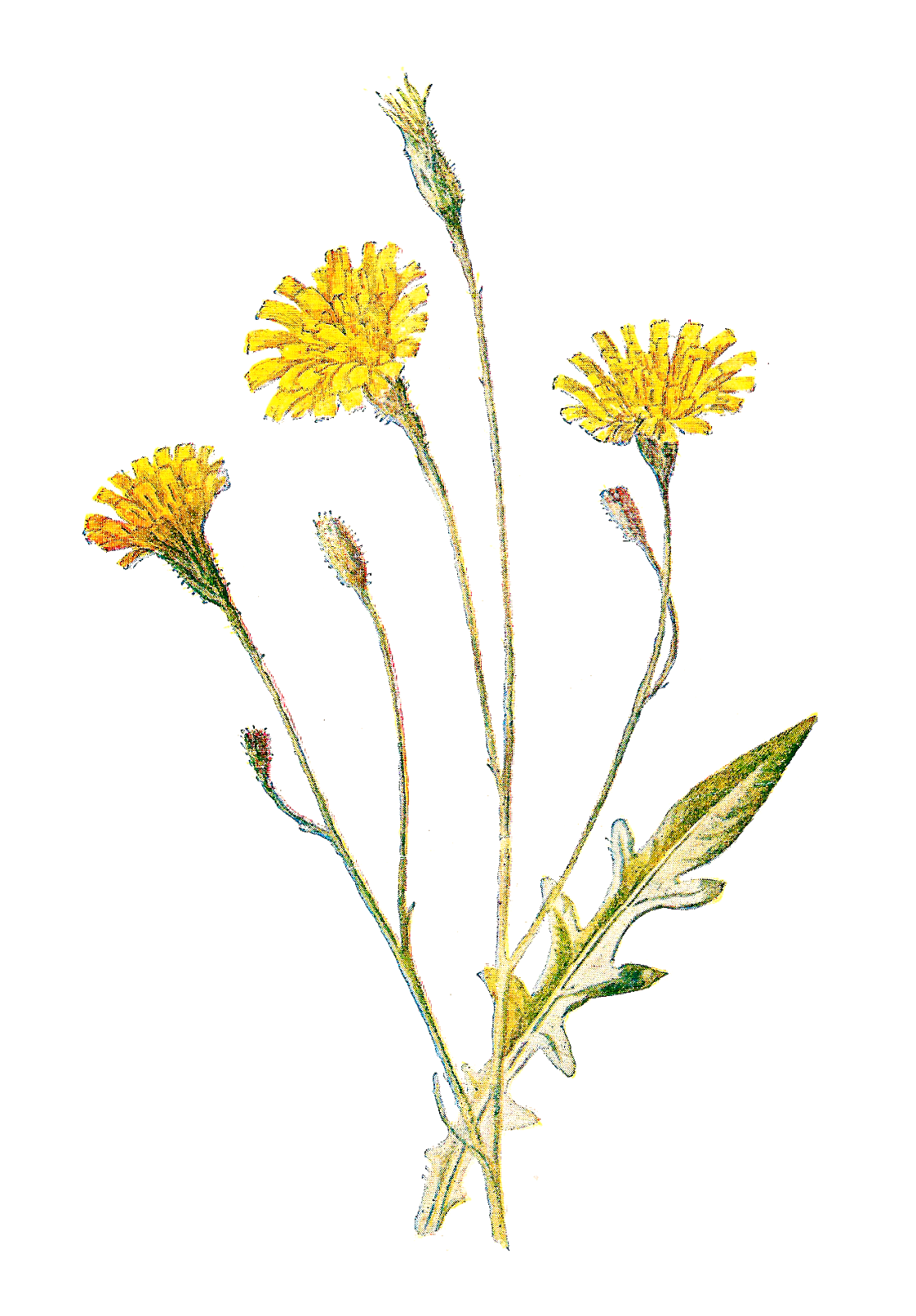 Wildflower vector. Antique images june all