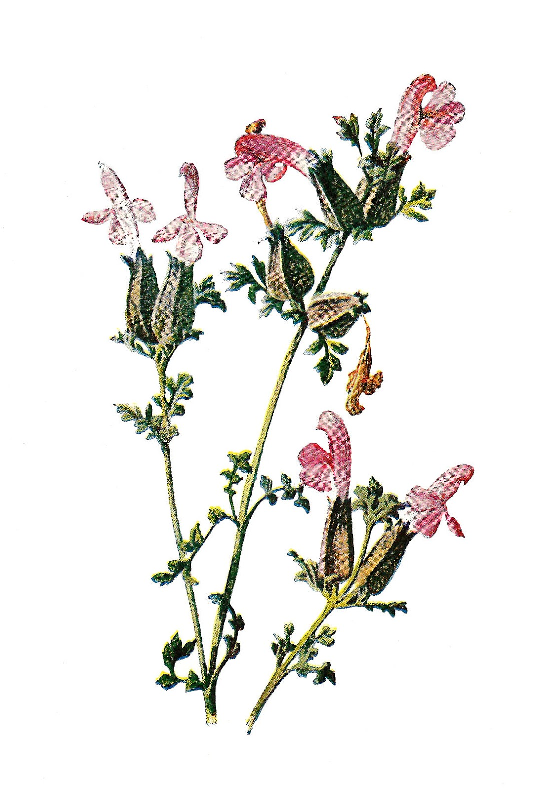 Antique images stock flower. Wildflower clipart vintage wildflower banner freeuse