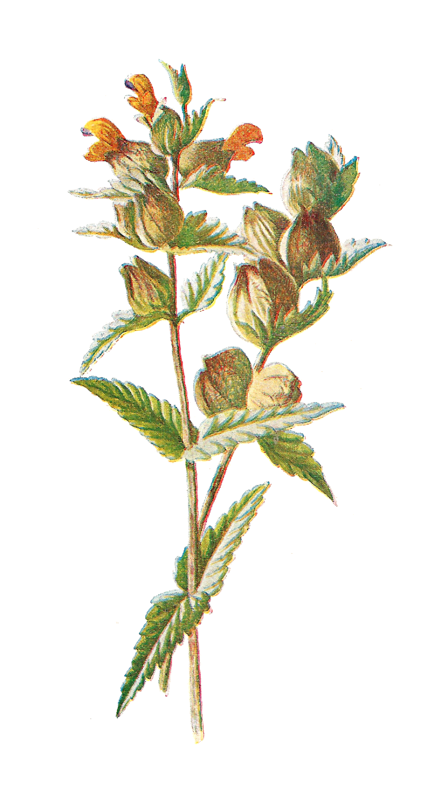 Antique images free digital. Wildflower clipart wild plant graphic library