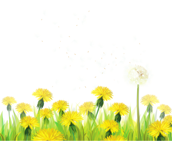 Wildflower vector canola plant. Transparent grass with dandelions