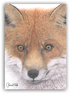 Firefox drawing red fox. Close up wildlife greeting