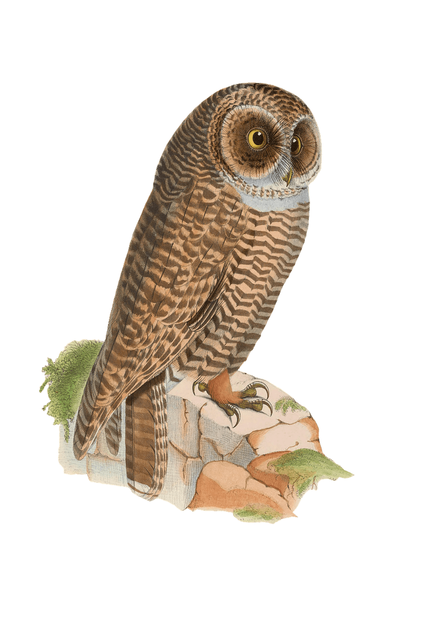 Wildlife drawing owl. Resting on rock transparent