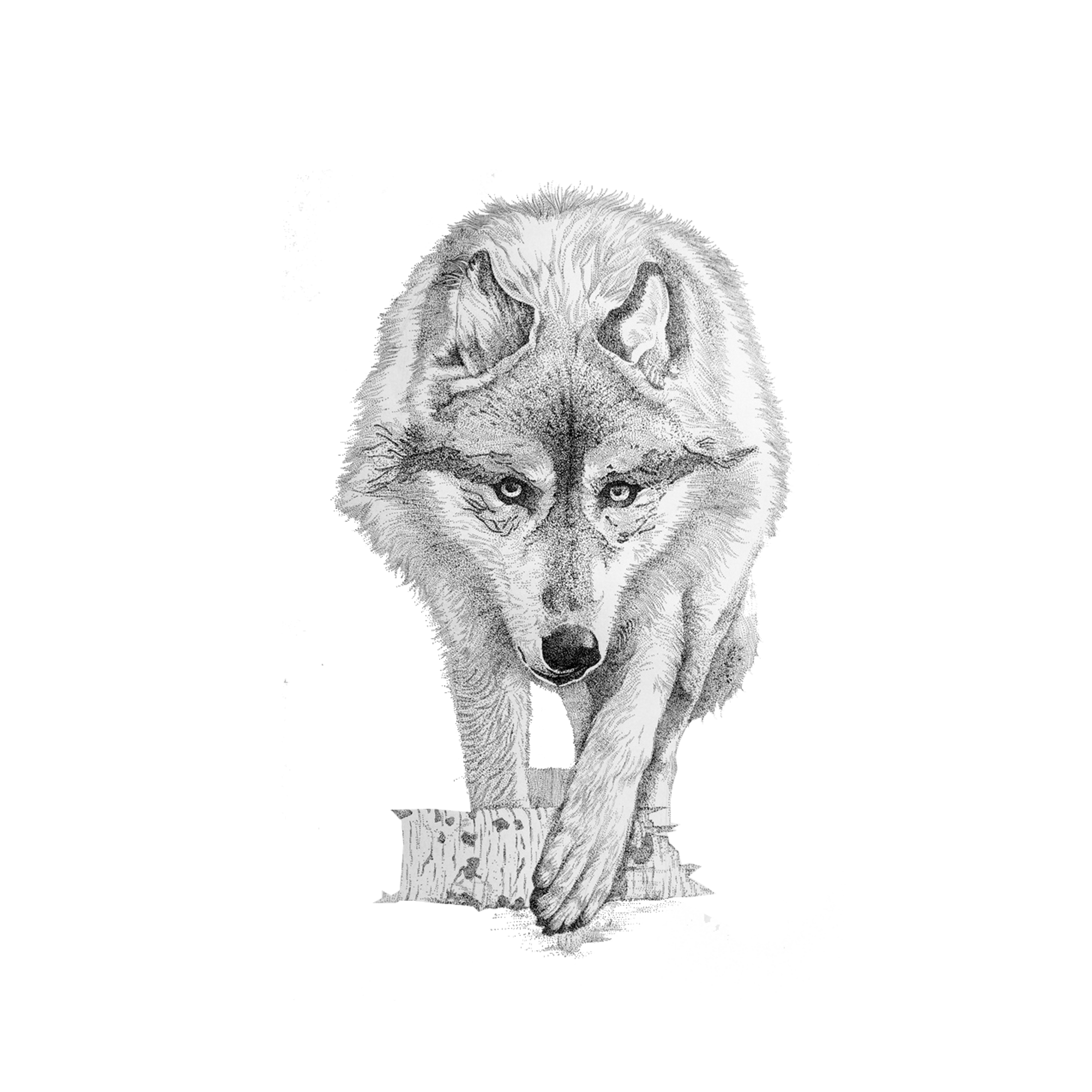 Wildlife drawing wolf. Gray coyote transprent png