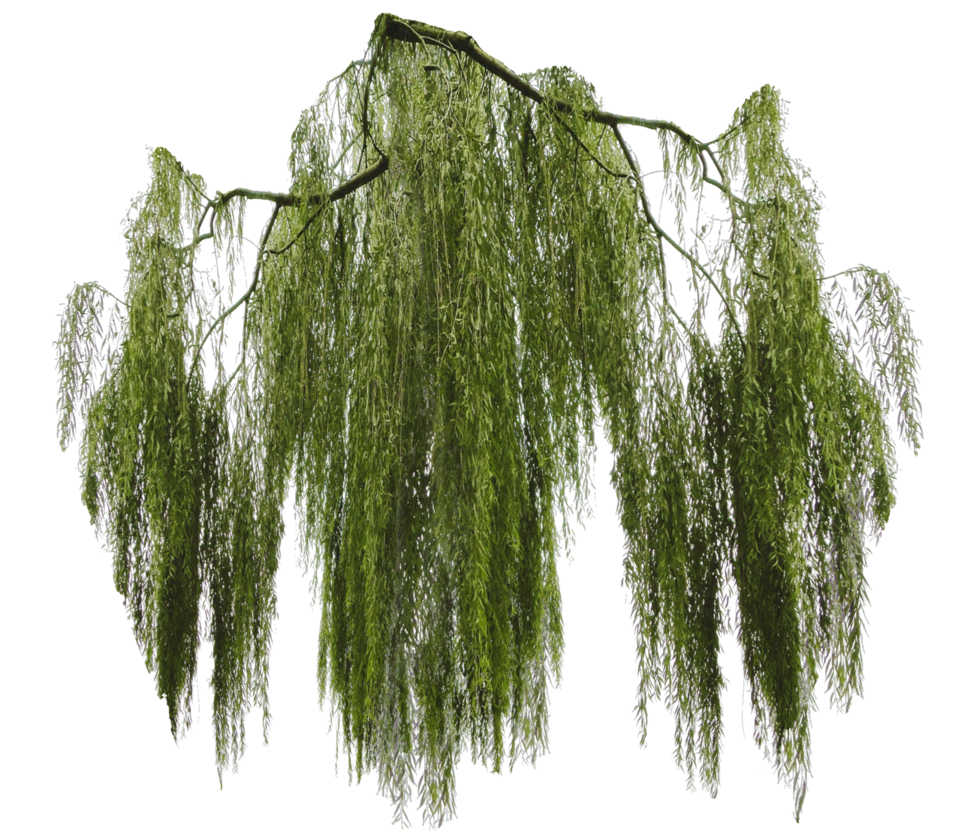 Hanging moss png. Weeping willow branch cut