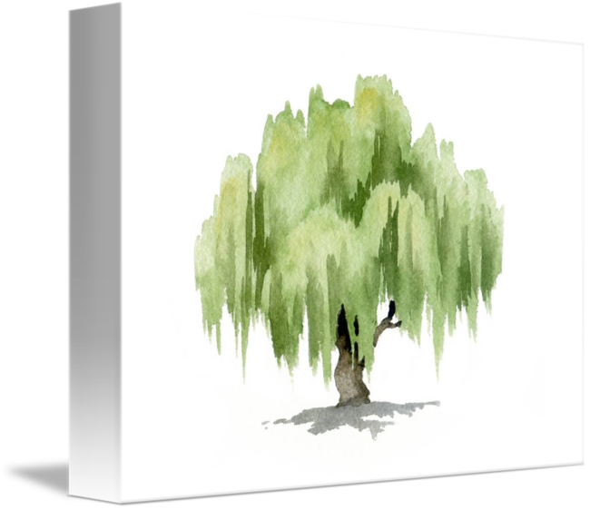 Willow drawing watercolor. Tree by david rogers
