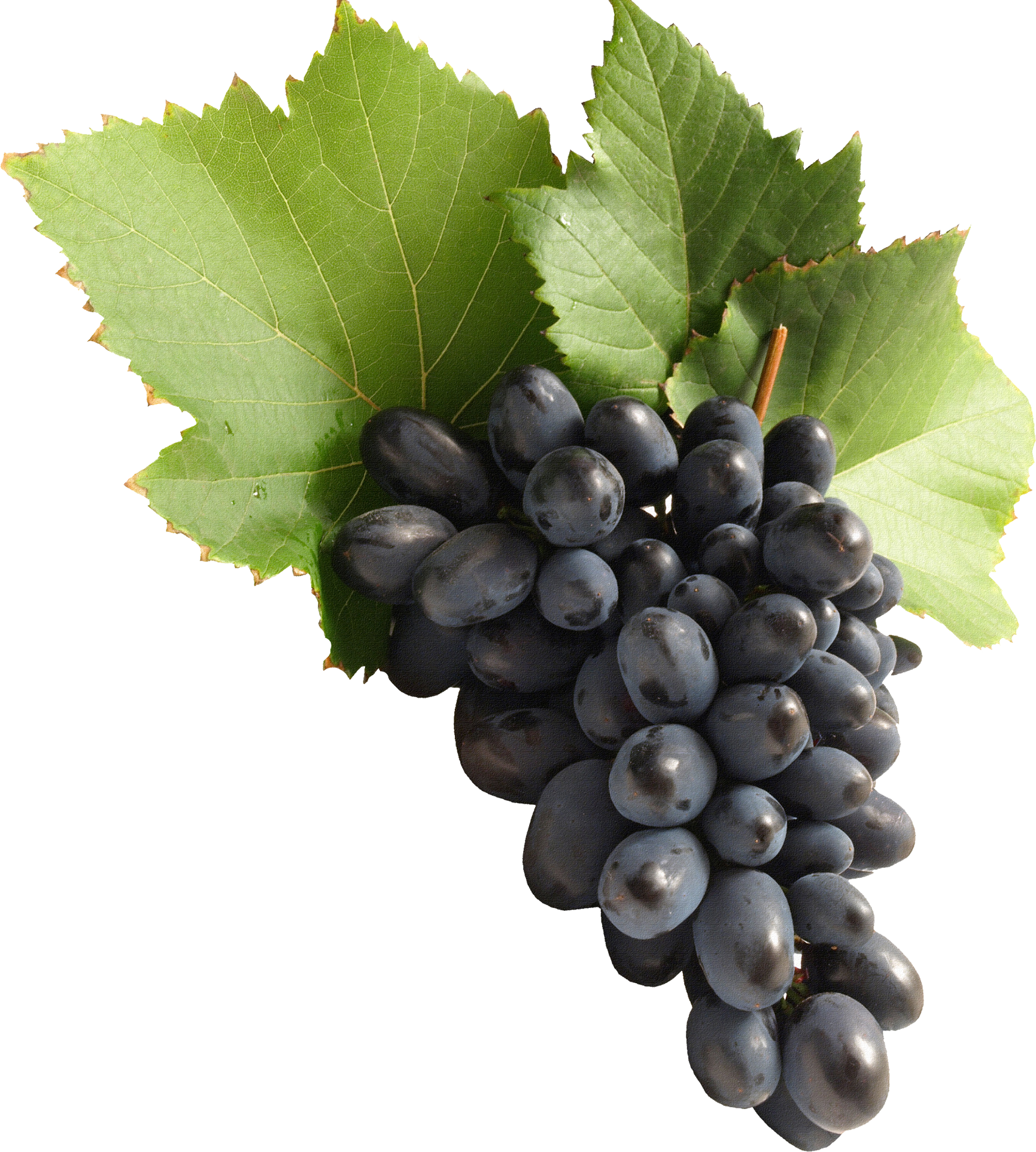 Wine grapes png. Grape fifty isolated stock