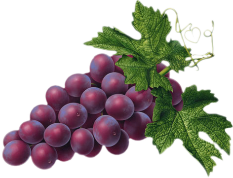 Grapevine Vector Grape Leaf Transparent Png Clipart Free