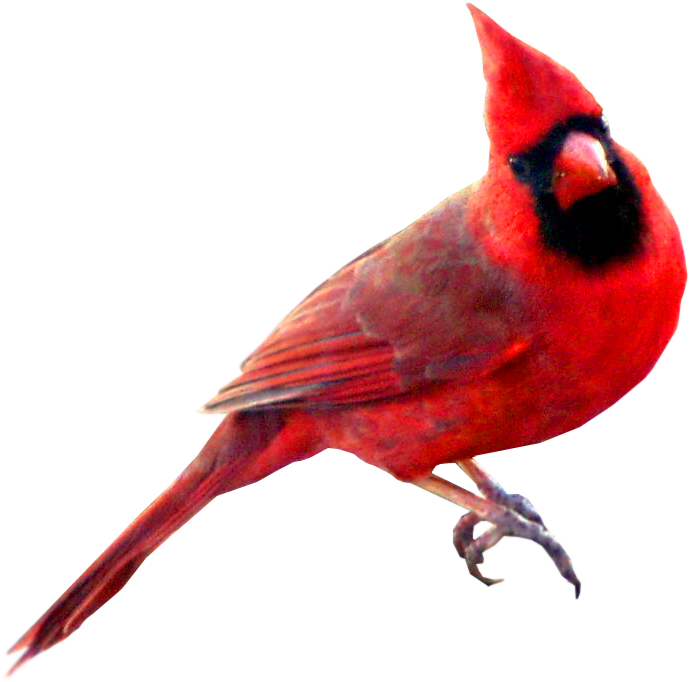 Winter bird png. Image red carainal color