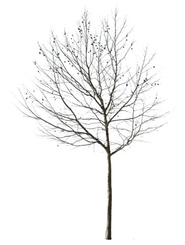 Winter trees png. Cutout deciduous tree ii