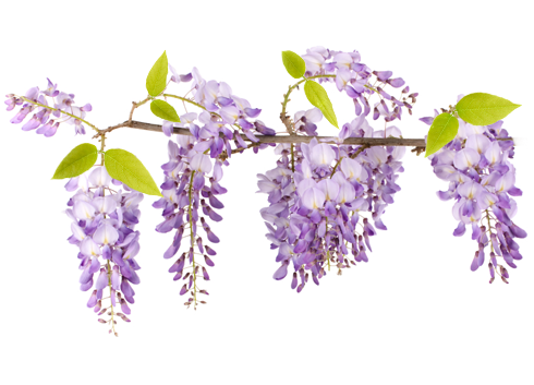 Wisteria flower png. Body lotion