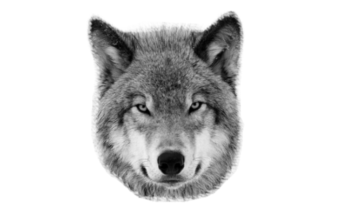 Wolf head png. Image about in art