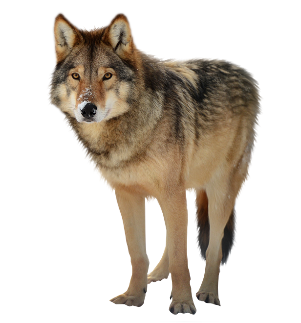 Wolves transparent. Wolf png image free