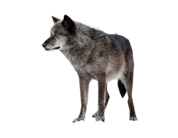 Wolf png images. By scyllawolf on deviantart